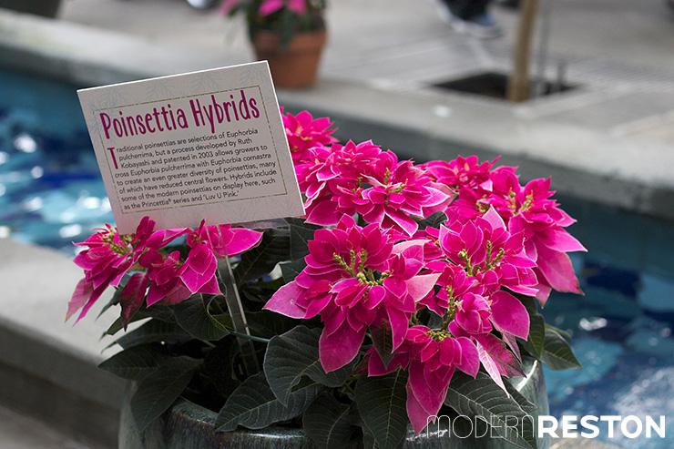 US Botanic Garden Modern Reston Poinsettia