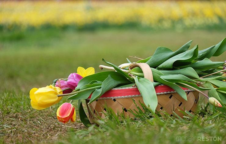 Burnside-Farms-03-basket-of-tulips
