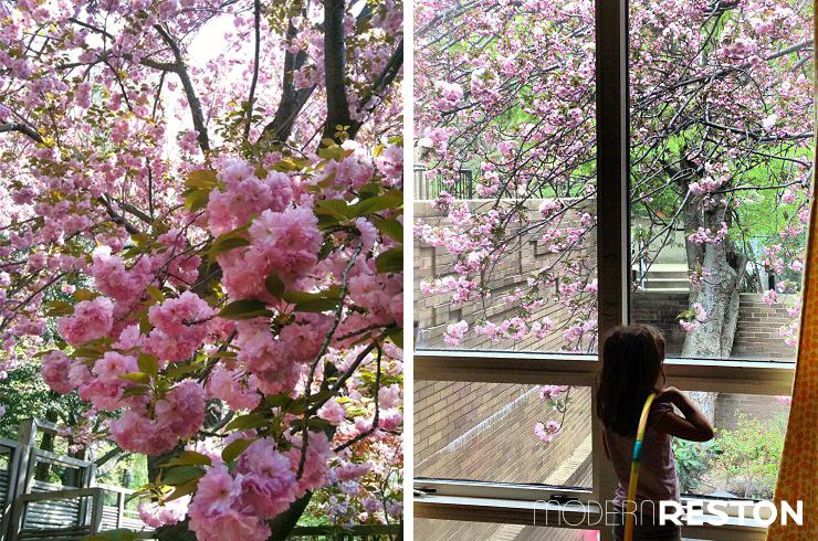 Cherry Blossom Peak Bloom Hanami Sakura DC Northern Virginia