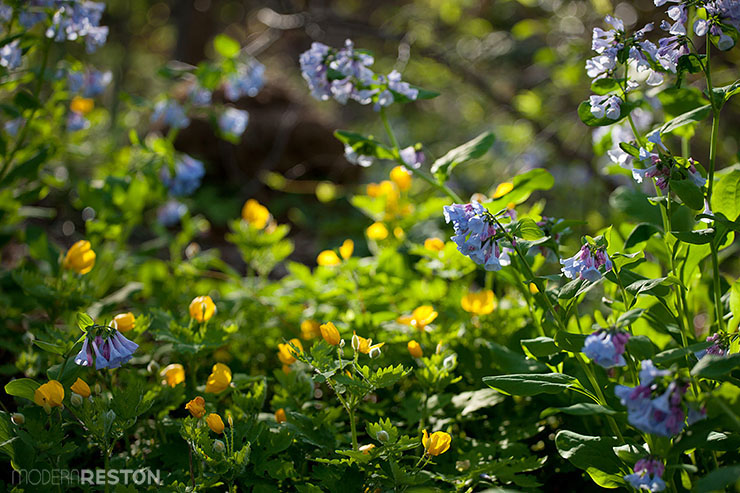 Virginia bluebells at Riverbend Park in Great Falls, VA
