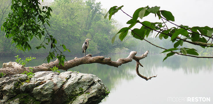 Great blue heron at Riverbend Park in Great Falls, VA