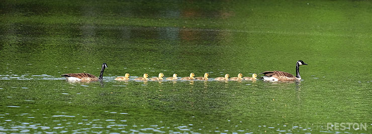 Baby-geese-in-Reston-02
