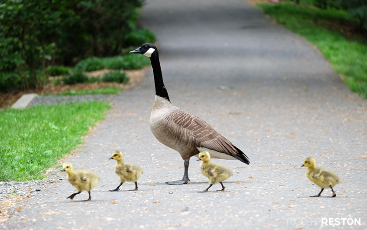 Baby-geese-in-Reston