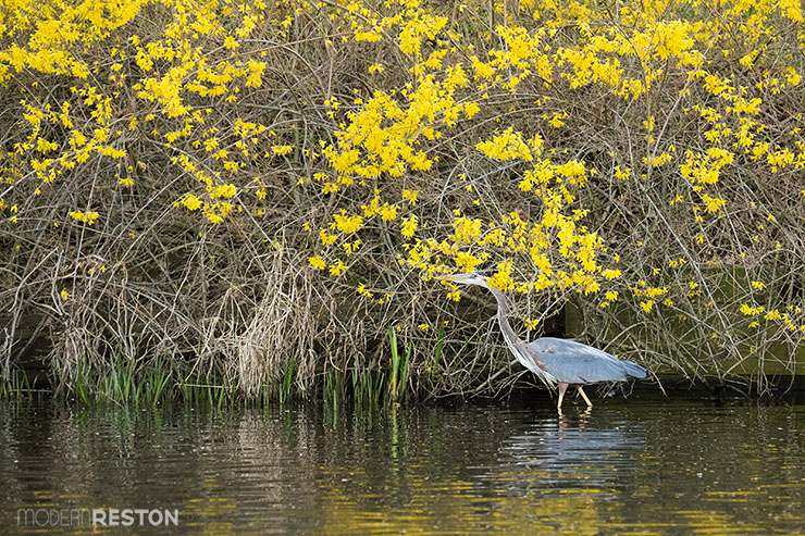 Heron-in-forsythia-at-Lake-Anne-Reston