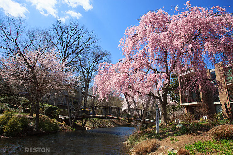 Lake-Anne-bridge-cherry-blossoms-02