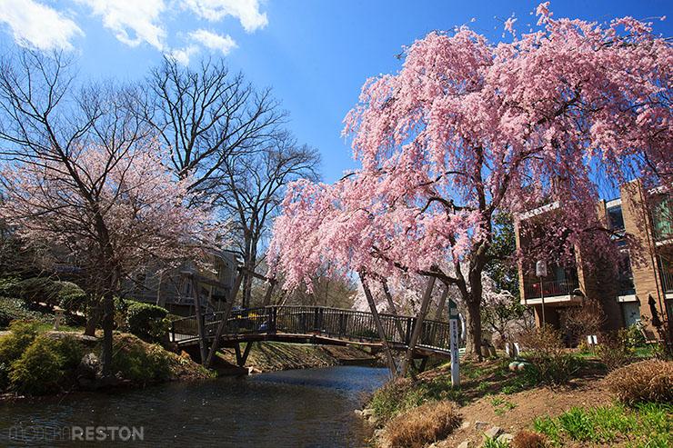 Lake-Anne-bridge-cherry-blossoms-02