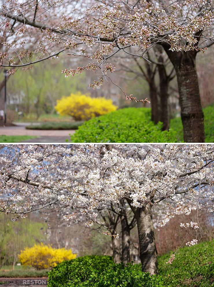 Lake-Newport-cherry-blossoms