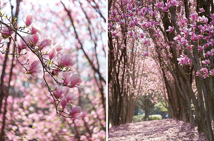 Magnolias-in-Reston