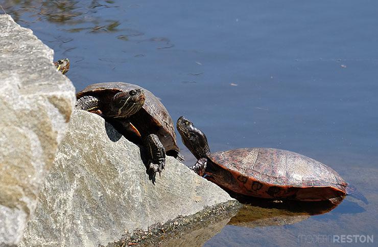 turtles-at-Lake-Anne-in-Reston