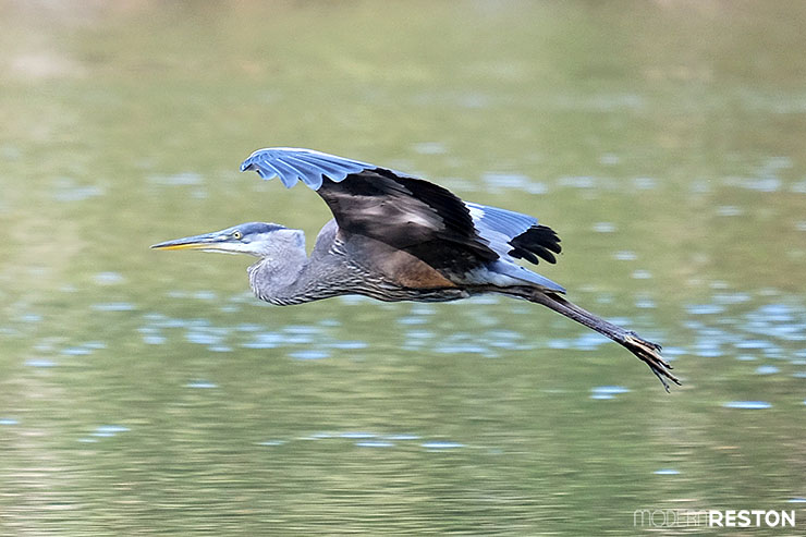Blue-heron-Reston-Virginia