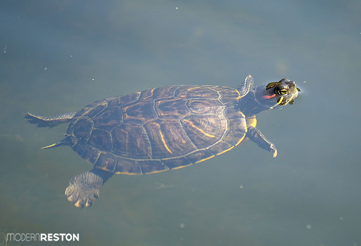 Turtle-at-Lake-Newport