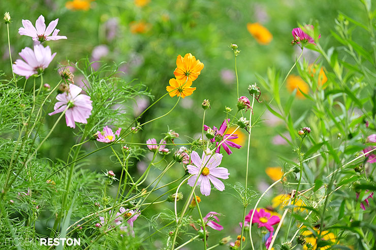 Wildflowers-at-Lake-Audubon-Reston