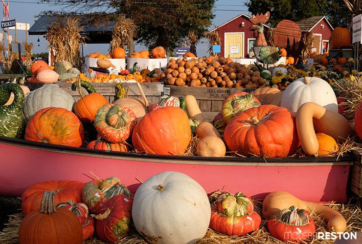 Cox-Farms-Fall-Festival-pumpkins