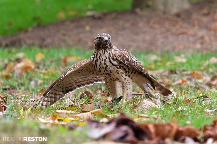 Reston Virginia hawk