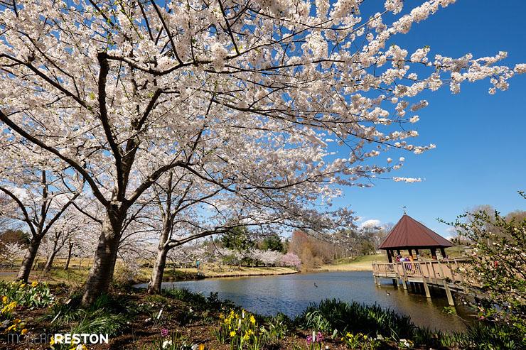 Meadowlark-Gardens-cherry-blossoms-01
