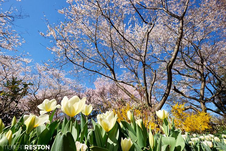 Meadowlark-Gardens-cherry-blossoms-03