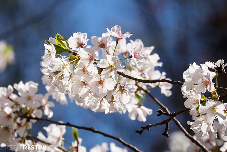 Meadowlark-Gardens-cherry-blossoms-04