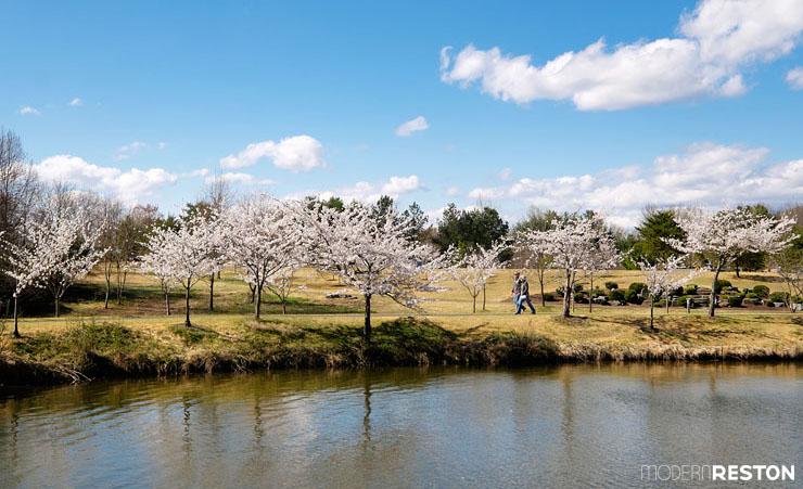 Meadowlark-Gardens-cherry-blossoms-05
