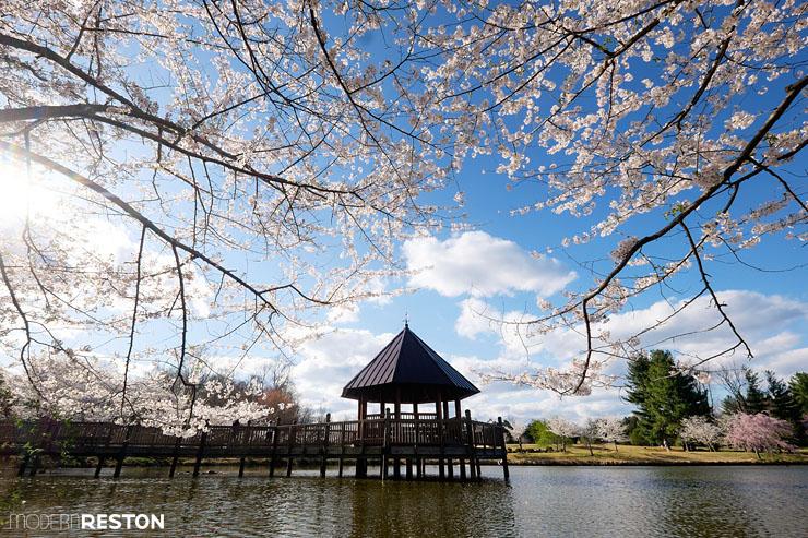 Meadowlark-Gardens-cherry-blossoms-06