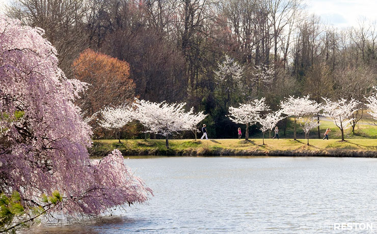 Meadowlark-Gardens-cherry-blossoms-08