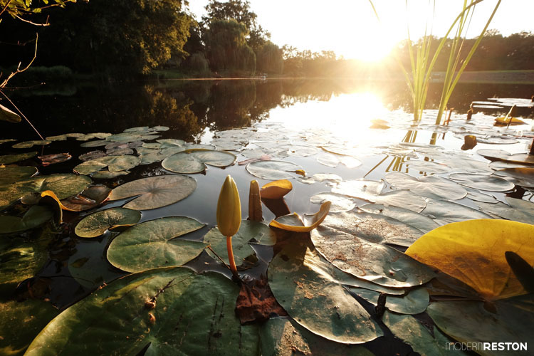 Lake-Newport-water-lily-sunrise