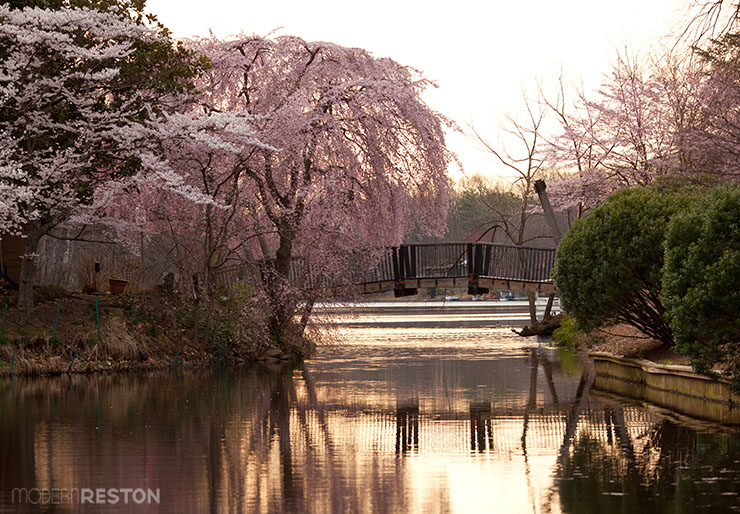 Cherry-blossoms-at-Lake-Anne-Reston-VA
